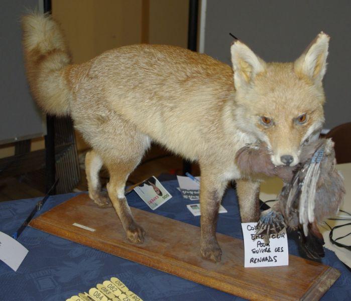 renard empaillé exposé au salon chasse beuvry